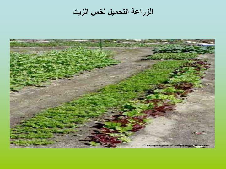 الزراعة التحميل لخس الزيت