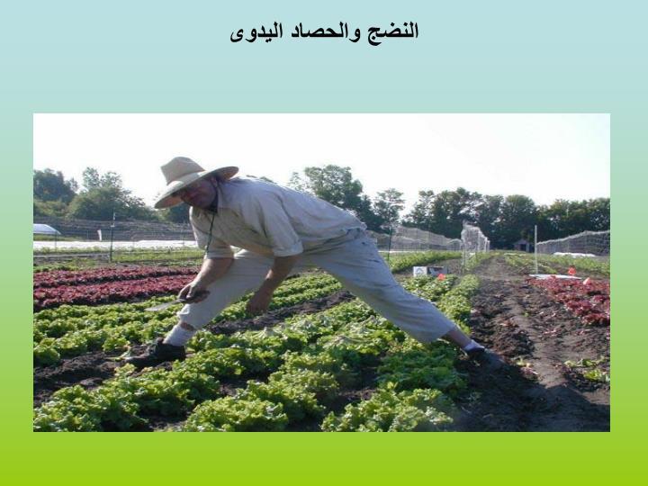 النضج والحصاد اليدوى