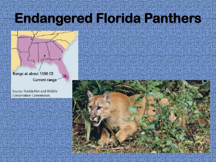 Endangered Florida Panthers