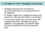4 evidence from vestigial structures