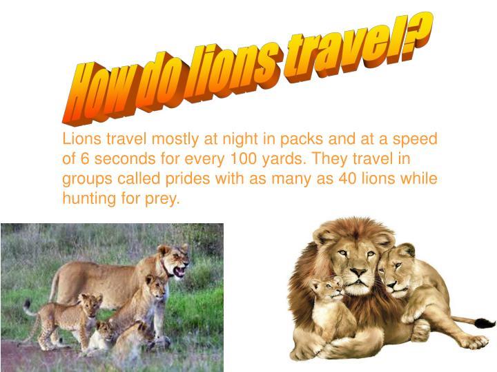 How do lions travel?