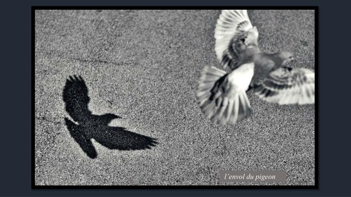 l'envol du pigeon