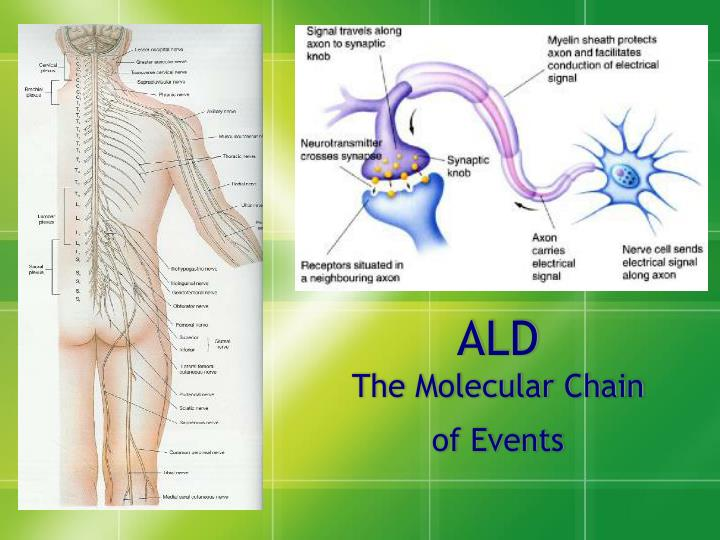 Ald the molecular chain of events
