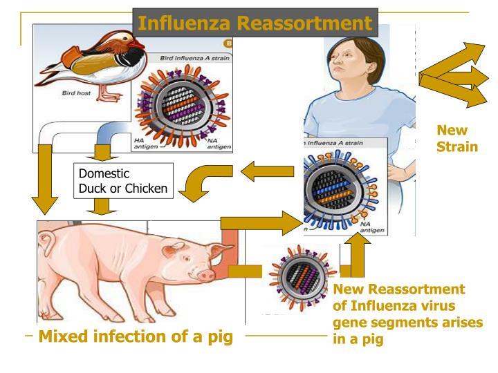 Influenza Reassortment
