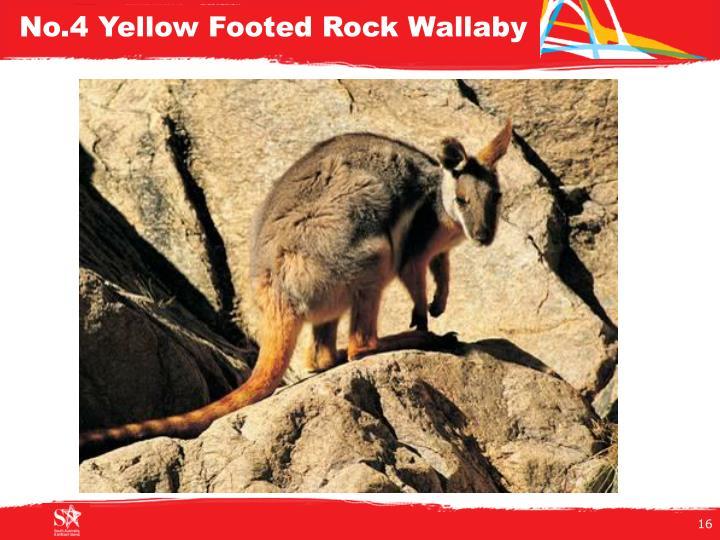 No.4 Yellow Footed Rock Wallaby