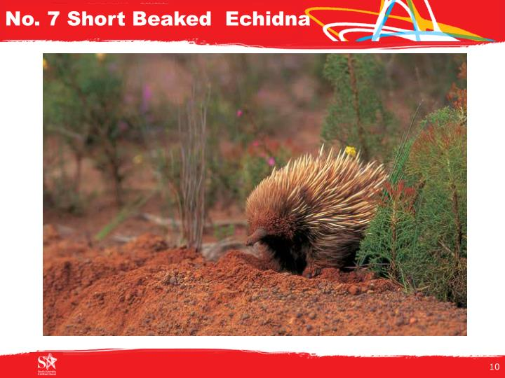 No. 7 Short Beaked  Echidna