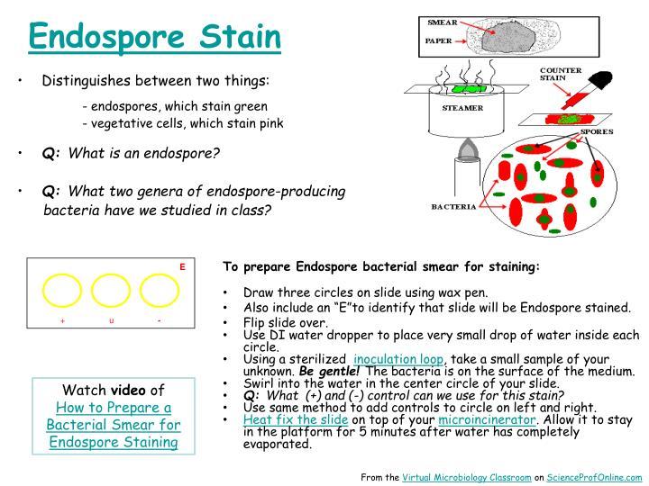 Endospore Stain