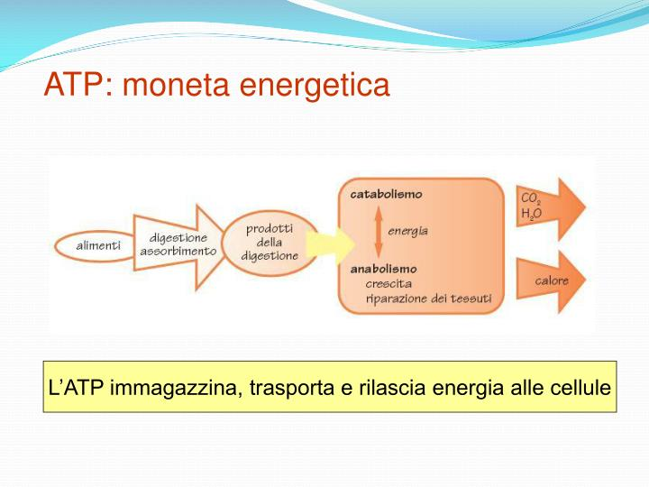Atp moneta energetica