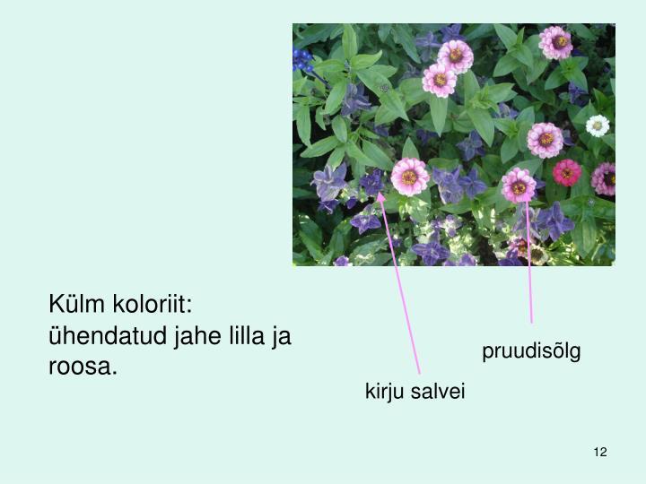 Külm koloriit: ühendatud jahe lilla ja roosa.