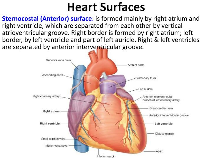 PPT - Pericardium & Heart PowerPoint Presentation - ID:4956744  PPT - Pericardi...