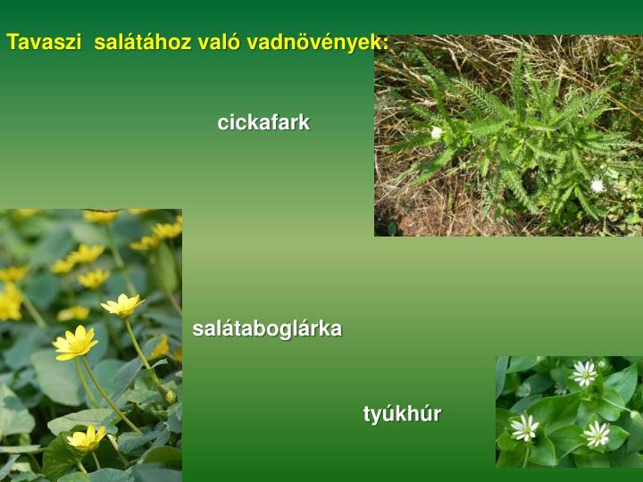 Tavaszi  salátához való vadnövények: