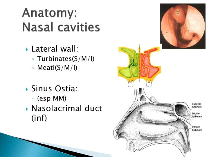 PPT - Nose and Paranasal Sinuses PowerPoint Presentation - ID:4973007