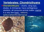vertebrates chondricthyans