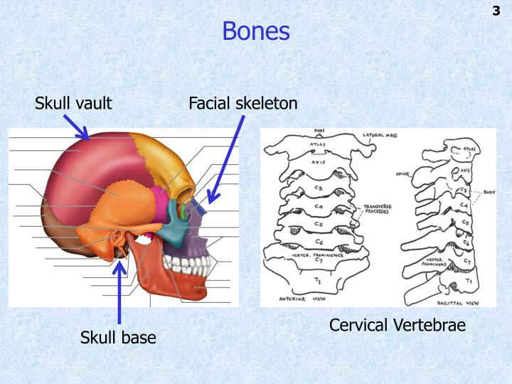 PPT - Introduction to Head and Neck Anatomy PowerPoint Presentation ...