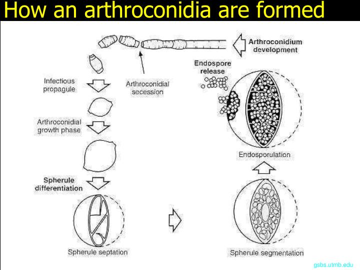 How an arthroconidia are formed
