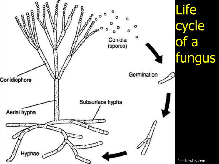 Life cycle of a fungus