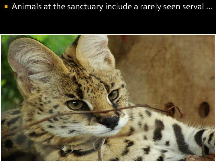 Animals at the sanctuary include a rarely seen serval ...