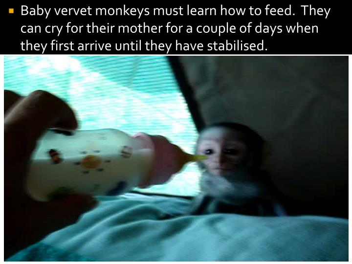 Baby vervet monkeys must learn how to feed.  They can cry for their mother for a couple of days when they first arrive until they have stabilised.