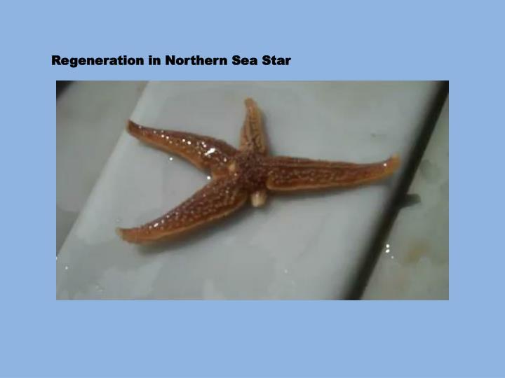 Regeneration in Northern Sea Star