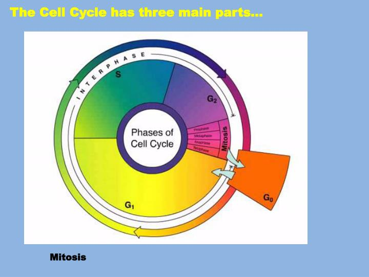 The Cell Cycle has three main parts…