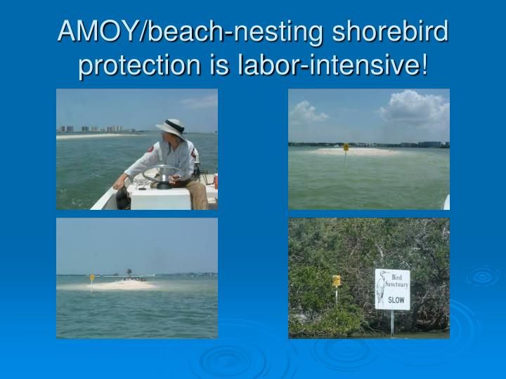 AMOY/beach-nesting shorebird protection is labor-intensive!