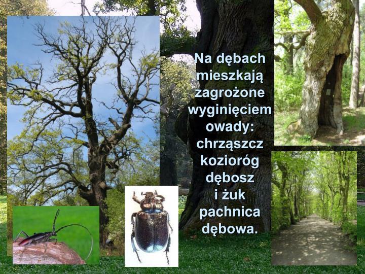 Na dębach mieszkają zagrożone wyginięciem owady: chrząszcz kozioróg dębosz
