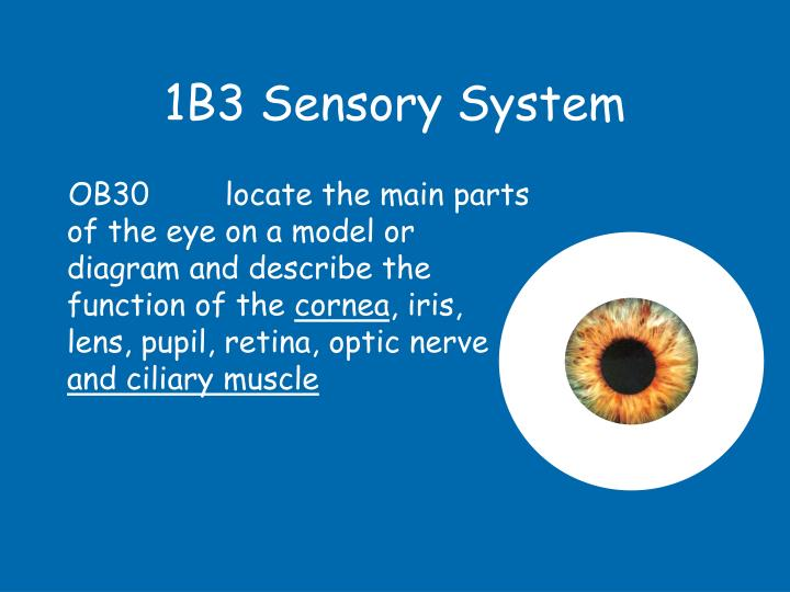 1b3 sensory system