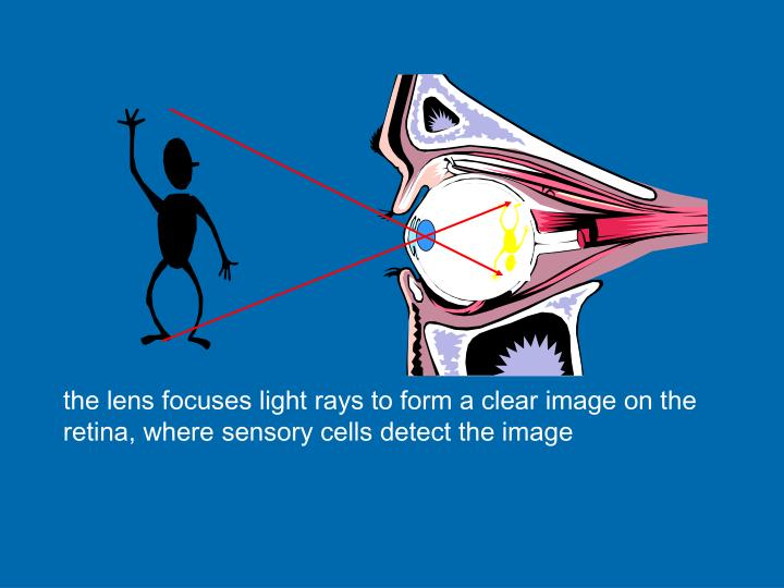 the lens focuses light rays to form a clear image on the retina, where sensory cells detect the image