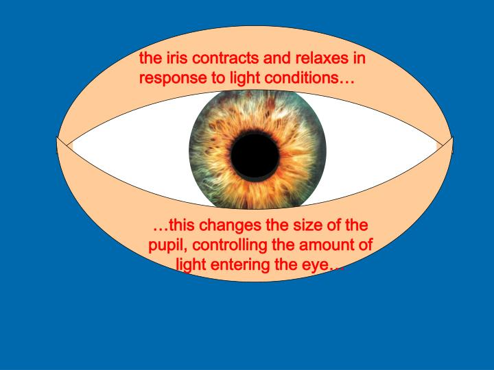 the iris contracts and relaxes in response to light conditions…
