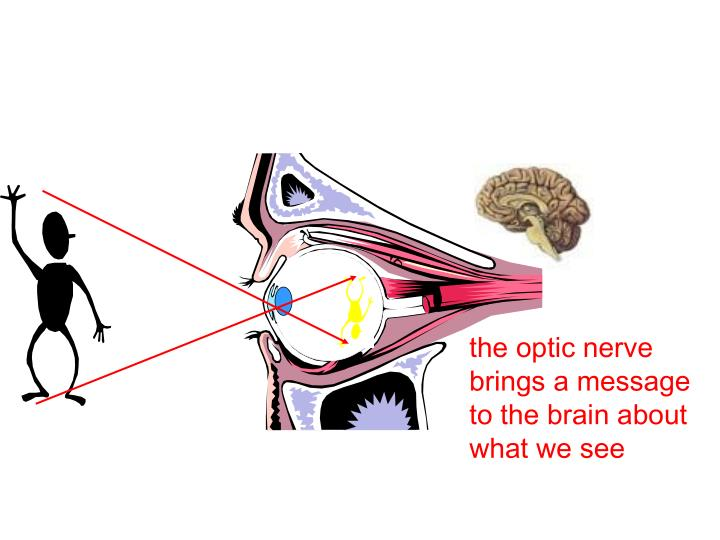 the optic nerve brings a message to the brain about what we see