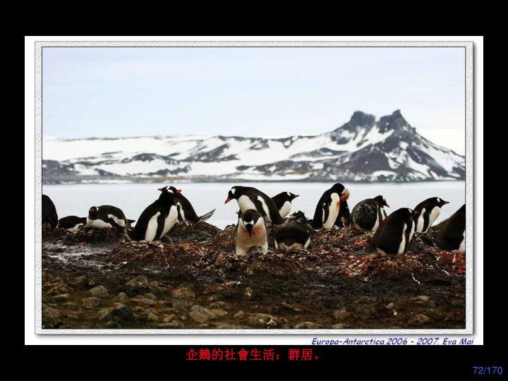 企鵝的社會生活:群居。
