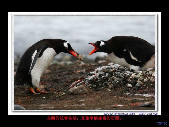 企鵝的社會生活:互相争