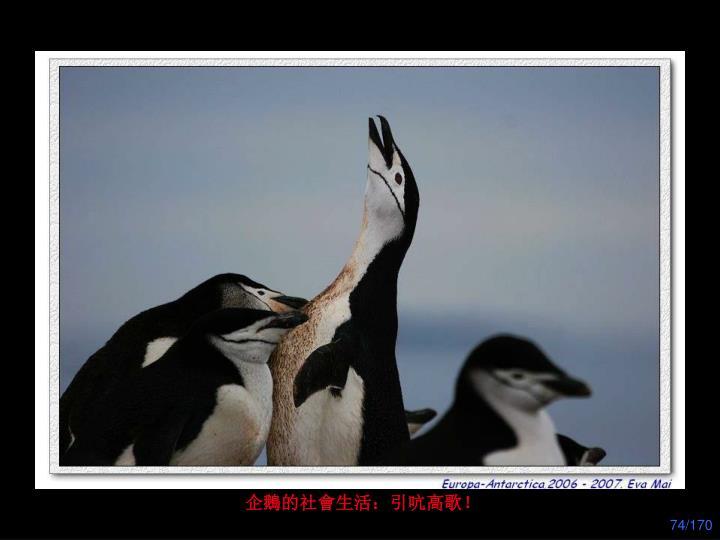 企鵝的社會生活:引吭高歌!