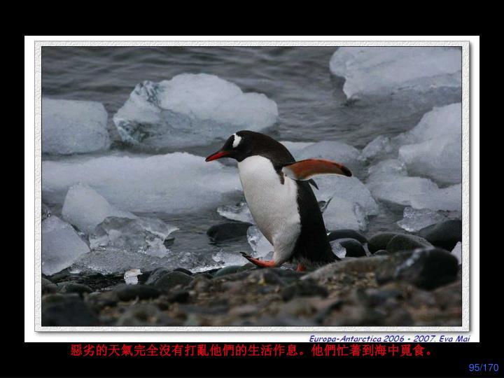 惡劣的天氣完全沒有打亂他們的生活作息。他們忙著到海中覓食