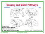 sensory and motor pathways
