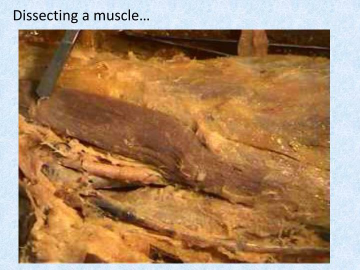 Dissecting a muscle…