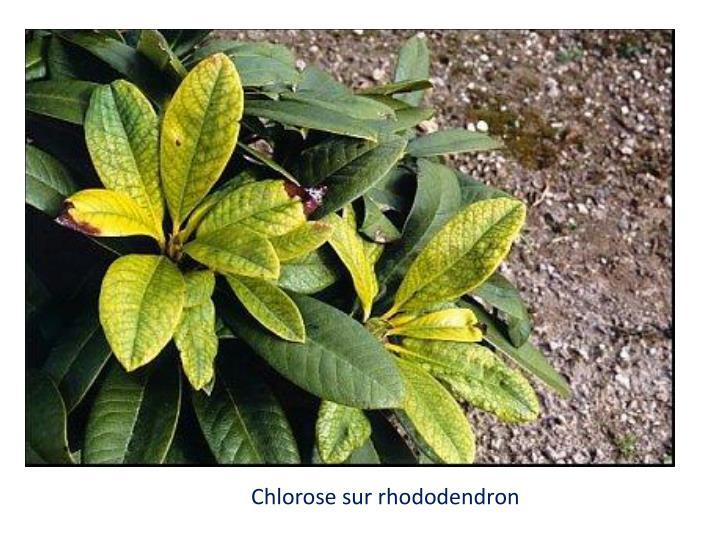Chlorose sur rhododendron