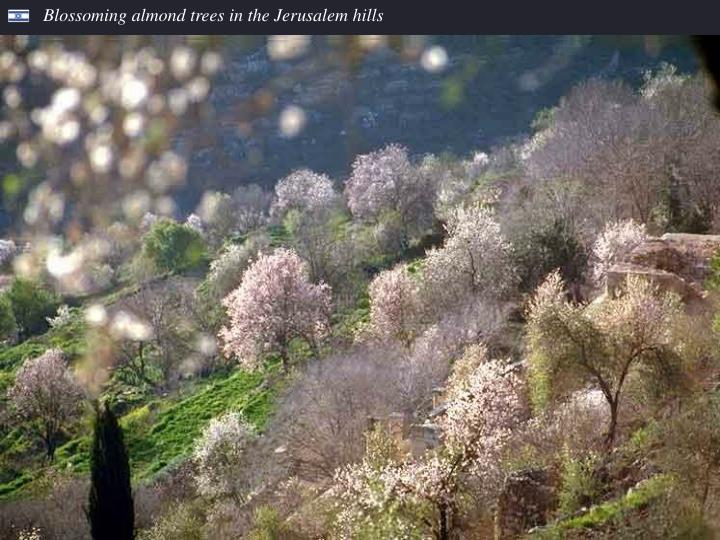 Blossoming almond trees in the Jerusalem hills