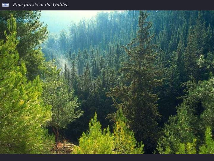 Pine forests in the Galilee