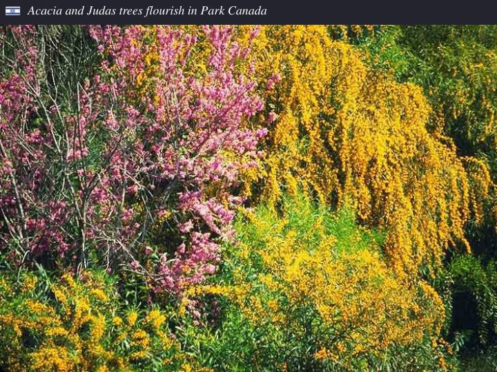 Acacia and Judas trees flourish in Park Canada