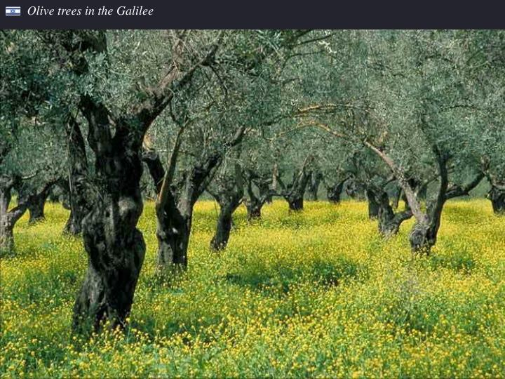 Olive trees in the Galilee
