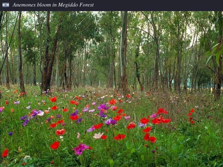 Anemones bloom in Megiddo Forest