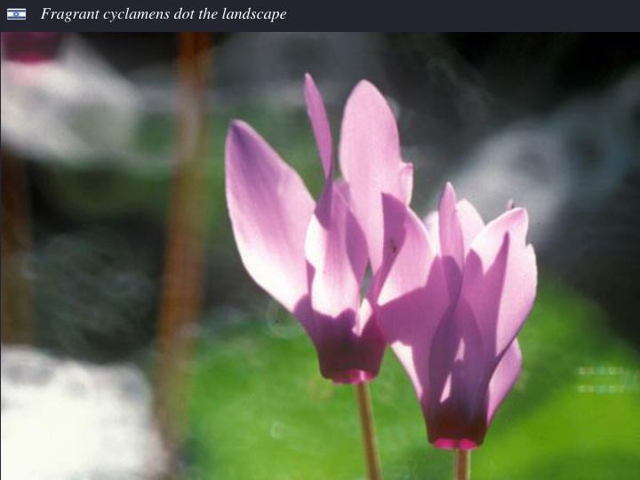 Fragrant cyclamens dot the landscape