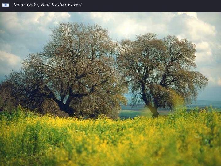 Tavor Oaks, Beit Keshet Forest
