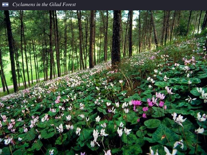 Cyclamens in the Gilad Forest