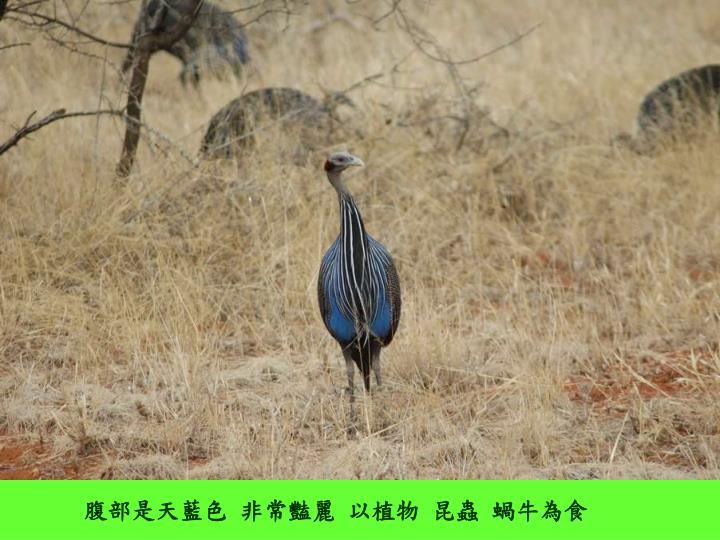 腹部是天藍色 非常豔麗 以植物 昆蟲 蝸牛為食