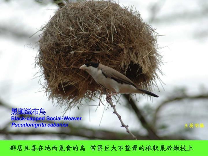 黑頭織布鳥