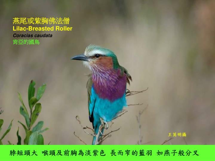 燕尾或紫胸佛法僧