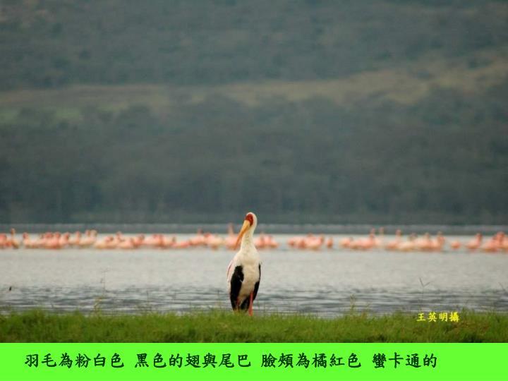 羽毛為粉白色 黑色的翅與尾巴 臉頰為橘紅色 蠻卡通的