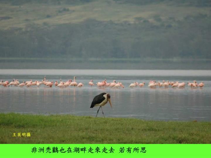 非洲禿鸛也在湖畔走來走去 若有所思